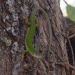 große grüne Eidechse auf einem Baum am Lac du Salagou