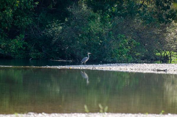 Fischreiher am Fluss in Frankreich